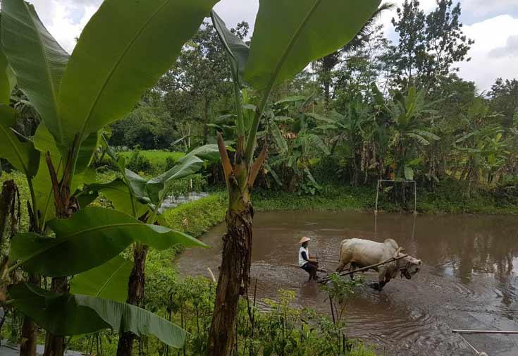 Rice Paddy processing in Pentingsari, Yogyakarta